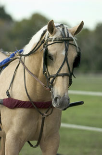 Palomino Horse in Driving Rig