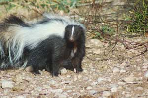 Skunks hanging around the barn are a nuisance & a possible threat to your horse's health